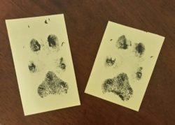 paw prints after pet home euthanasia
