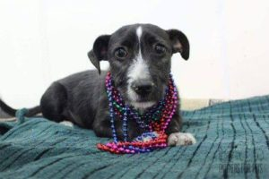 terrier mix with beads