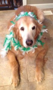 golden retriever with feather boa