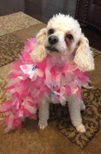 poodle with pink boa