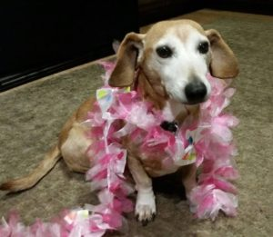 dachshund wearing boa