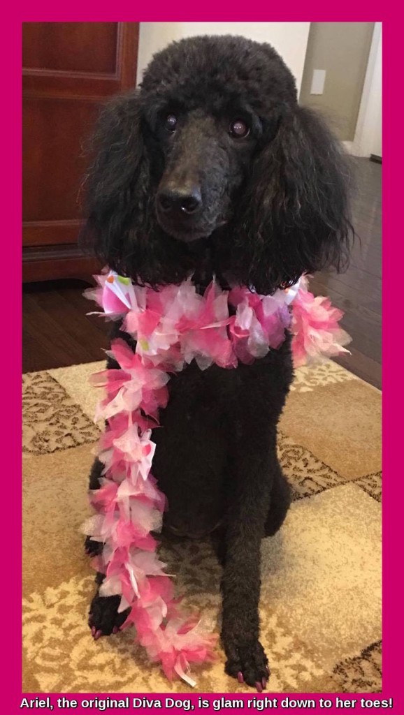 Black poodle in pink boa