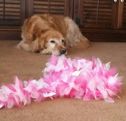 Queenie was rescued from a puppy mill. The boa was a little scary, but she's still glam!