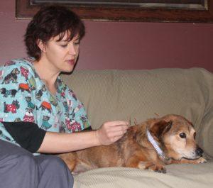 Veterinarian acupuncure dog, needling dog