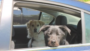 Rescue dogs in car
