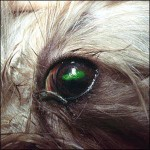 Fluorescein stain adheres to an injury on the eye and glows green.