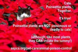 It's a myth that Poinsettia plants are toxic to cats!