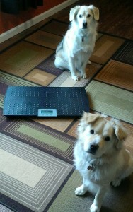 Neither dog will actually go ON the scale in front of the camera!