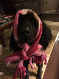 Poodle in pink scarf