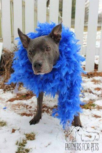 pitbull with feather boa