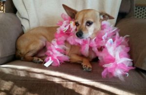 chihuahua with feather boa